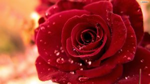 Red Rose Wallpaper Image Picture