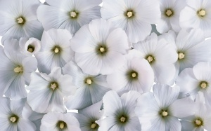 White Flowers Wallpaper Image Picture