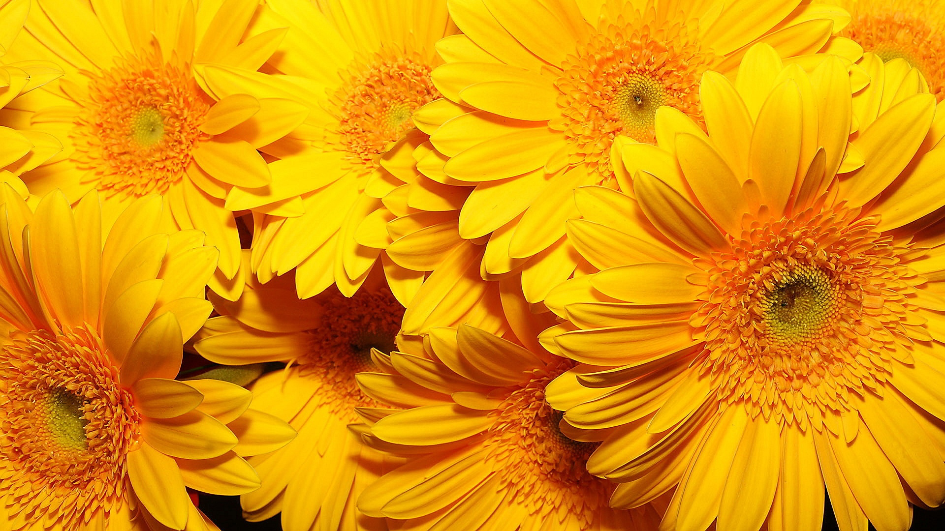 Yellow Flowers Wallpapers 1920×1080