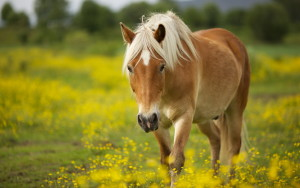 Horse Wallpaper Android Phones