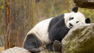 Panda Animals Wallpaper