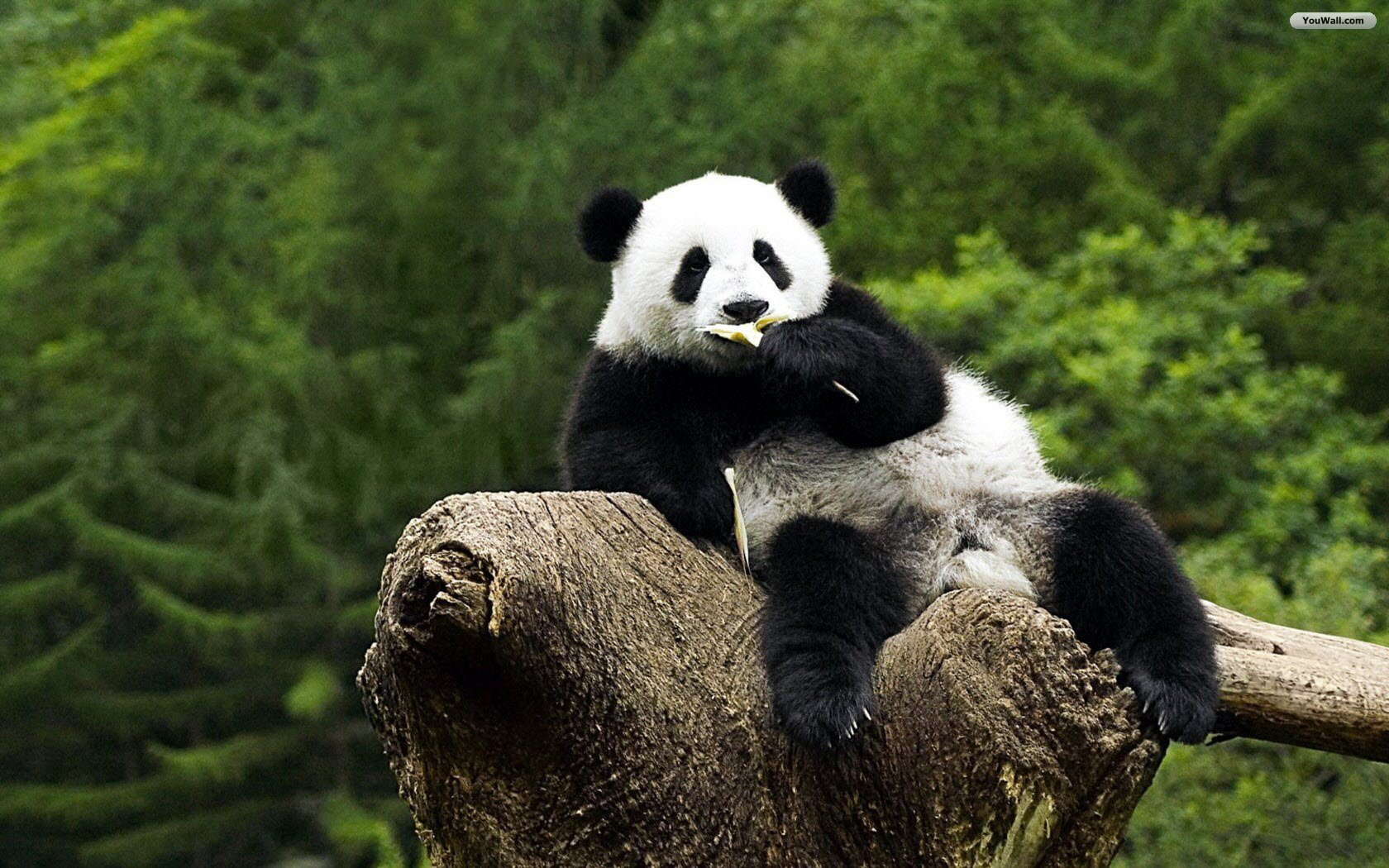 Panda Wallpaper Photos Free