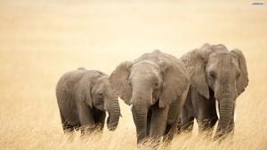 Elephant Wallpaper Android Phones