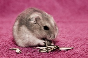 Hamster Eat Wallpaper Free