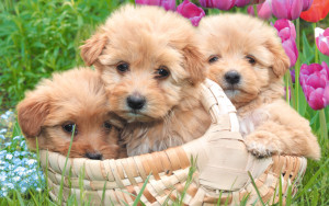 Puppies Wallpaper Iphone HD
