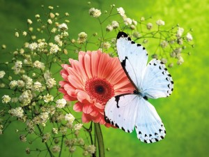 White Butterfly Wallpapers